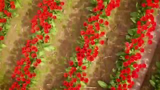 Download The splendorous Skagit Valley tulips Video