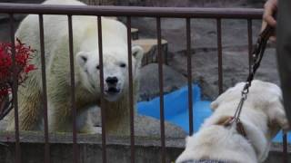 Download 盲導犬を見たホッキョクグマ~Test~A seeing eye dog is made to stand before Polar Bears Video