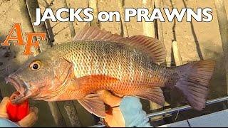 Download Fishing Big Jacks on Prawns Andysfishing Andy's Fish Video EP.249 Video