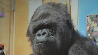 Download Remembering the human side of Koko the gorilla Video