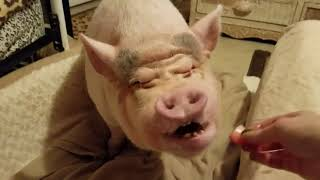 Download MINI PIG NIGHT TIME ROUTINE ❤ Video