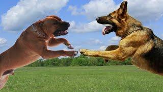 Download American Staffordshire terrier VS German Shepherd Dog Highlights Video