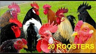 Download 20 different roosters crowing - Krähruf der Hähne von 20 verschiedenen Hühnerrassen im Vergleich Video