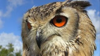 Download The most beautiful eyes: Bengal Eagle Owl. Feeding & hunting training in Dublin Falconry. Video