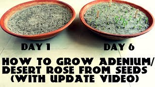 Download How to Grow Adenium / Desert Rose from Seeds (With Update Video) Video
