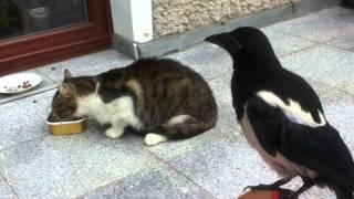 Download Kuba (sroka) atakuje koty Video