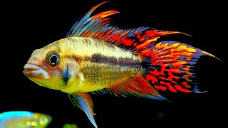 Download Top 5 Centerpiece Fish for your small to medium sized Community Aquarium. Video