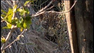Download Pt 2 Safari Live's Sunrise Safari Drive at 7:00 AM on Jan 2018 ( Thandi's Cub, Hosana & Tingana ) Video