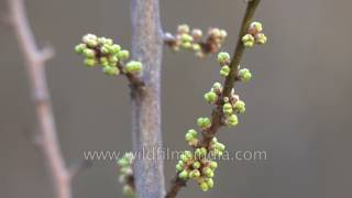 Download Spring-time in Himachal Pradesh - apple tree buds before blossom Video
