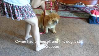 Download Dog training Singapore - Money 4 months old Chow Chow 一到两天. 狗儿服从认厕所和好行为训练! Video