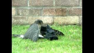 Download Hawk fighting with a Crow Video