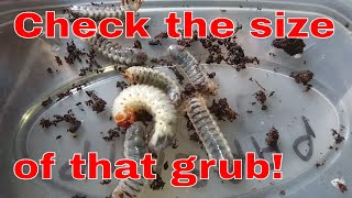 Download Giant grub, Camel Spider loses legs and Moth update Video