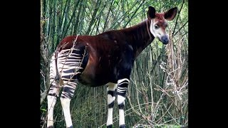 Download Focus on Species: Okapi (Okapia johnstoni) Video
