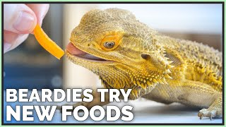 Download Bearded Dragons Tasting & Reviewing New Foods! Video