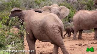 Download Bad Tempered Elephant Hits Baby Twice! Listen how the baby screams Video