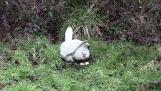 Download Amazing Clip Of A Goose Laying An Egg. Close-Up. Video