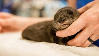 Download Petunia the Rescued Baby Otter Kit Video