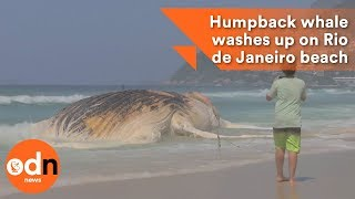 Download Humpback whale washes up on Rio de Janeiro beach Video
