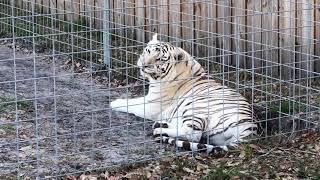 Download Wildcat Walkabout at Big Cat Rescue 2018 01 15 Video