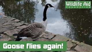 Download Canada Goose with shattered wing flies again! Video