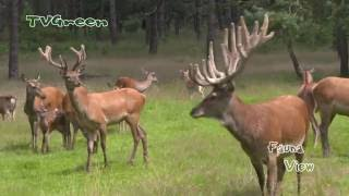 Download Dutch Travel Destination: National Park Edelherten - Red Deer Browsing Video