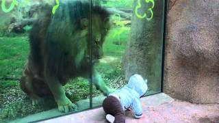 Download Lion trying to attack baby at zoo Video