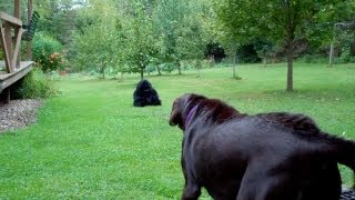 Download EPIC CHOCOLATE LAB vs STUFFED GORILLA PRANK! Video