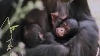 Download Wild alpha male ape meets his baby twin chimpanzees in the African jungle - BBC wildlife Video
