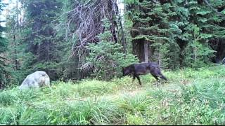 Download Wolves, Bears, Coyotes Trailcam Video Sept 2015 Video