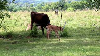 Download Cute Baby Cow's First Steps Video
