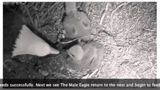Download Eaglet Rescued and Returned to Nest Will Mom Take Eagle Baby Back? Video