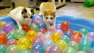 Download Cute Kittens Play in Ball Pit Video