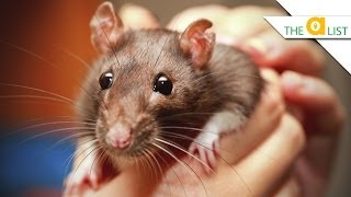 Download 5 Fascinating Facts About Rats Video