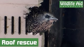 Download Houdini starling saved from a rooftop Video