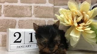 Download ペットショップ 犬の家 ○近江八幡店店 「ヨークシャーテリア」「81497」 Video