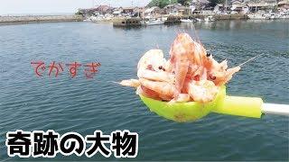 Download ゆでた海老を大量に撒いたら想定外の大物出現! Video