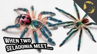 Download Typhochlaena seladonia - SPECIAL EDITION - Video