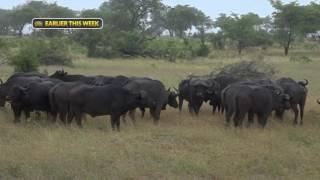 Download safariLIVE Series - Sunrise Safari Nat Geo WILD - Feb. 20, 2017 Video