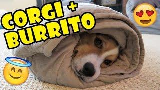 Download CORGI'S BURRITO DREAMS COME TRUE! Video