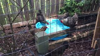 Download Pool Girls - Cheap and Easy Summer Fun for Backyard Chickens Video