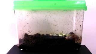 Download 흙 파고 들어가는 식용 달팽이 하루 (2016.11.23) Video
