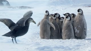Download Penguin Chicks' Stand Off Against Predator | Spy In The Snow | BBC Earth Video