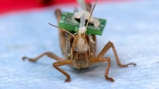 Download Bomb Sniffing Cyborg Locusts: Washington University Researchers Create Biobots Video