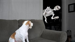 Download Halloween Prank: Skeleton Scares Dog Video