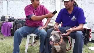 Download DIFERENCIA ENTRE PITBULL MEXICANO Y DE USA. REGISTRO Video