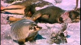 Download Bears of Sugarloaf Mountain Video