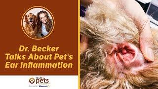 Download Dr. Becker Talks About Pet's Ear Inflammation Video
