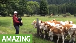 Download Grazing cows rush to listen to accordion music Video