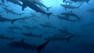 Download Thousands Of Sharks Visit A Sea Mount - Blue Planet - BBC Earth Video