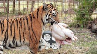 Download How a Tiger Prepares a Turkey (with Keisha & Zeus) Video